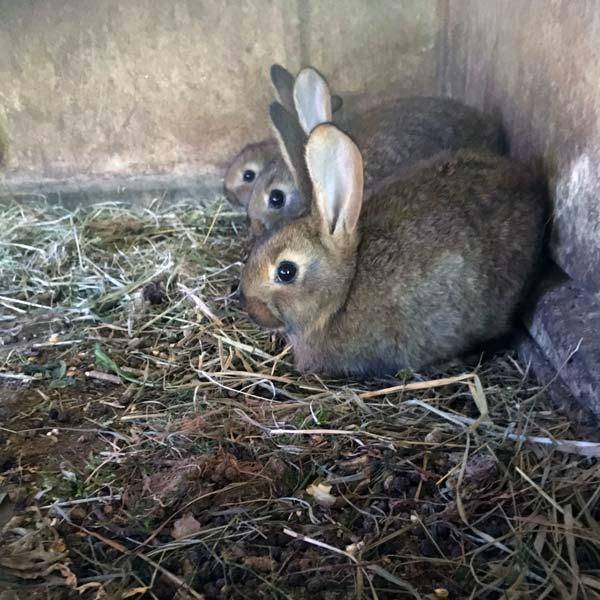les 3 petits lapins