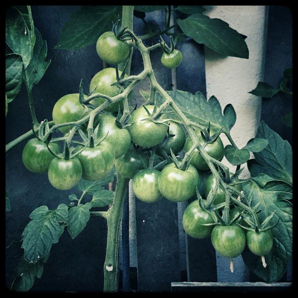 tomates en devenir du jardin