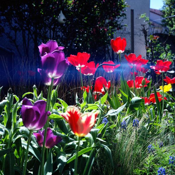 des tulipes retrouvées