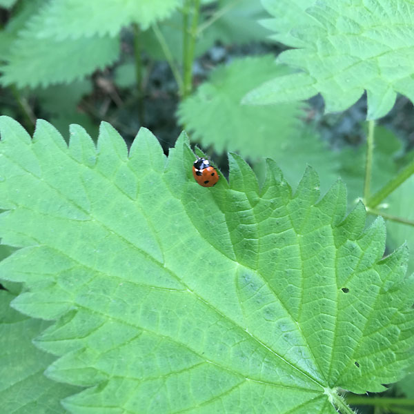 coccinelle sur orties