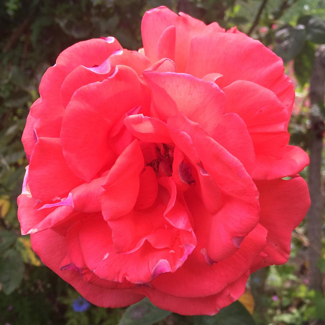 rose du jardin sans nom