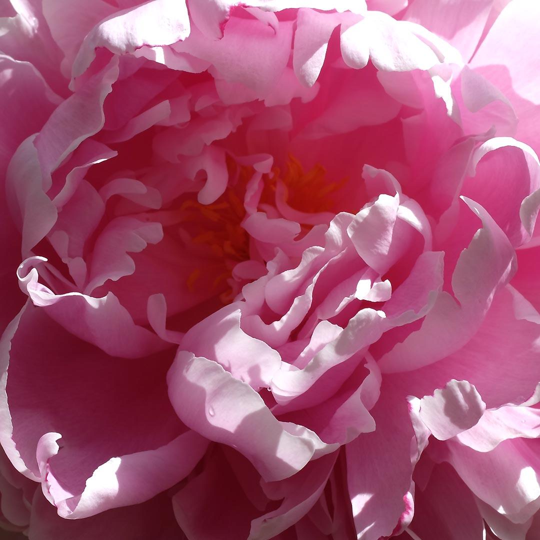 beau rose