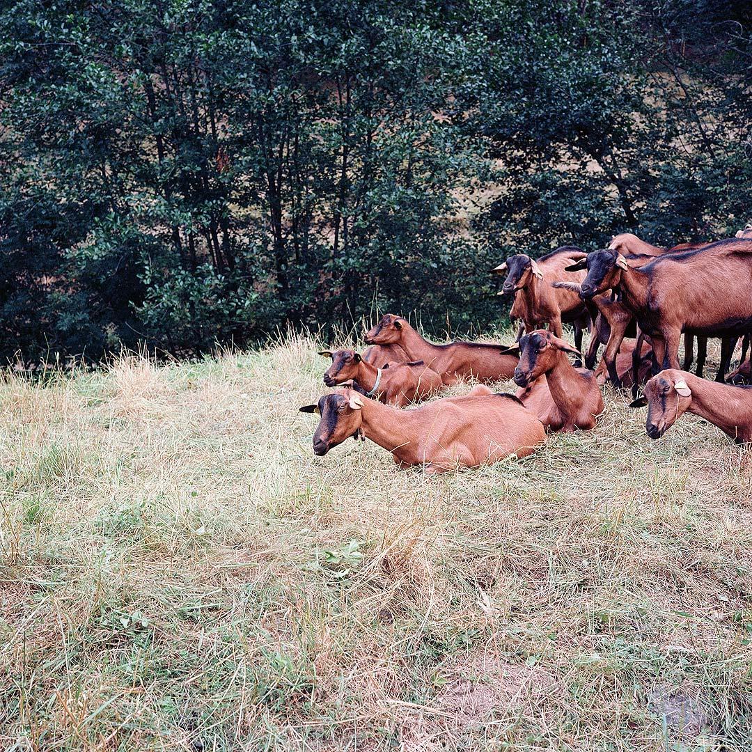 troupeau à l'affût