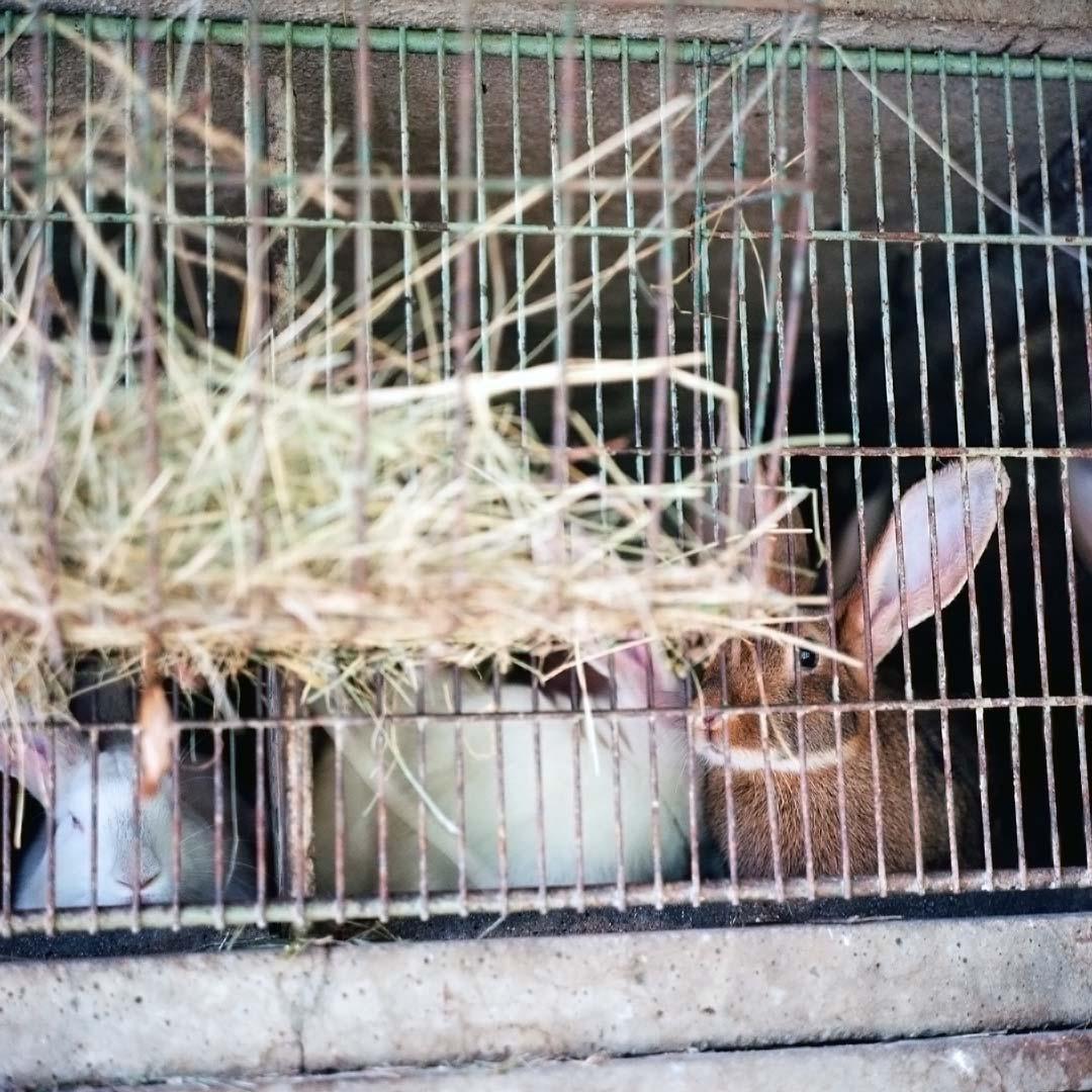 l'oeil de lapin