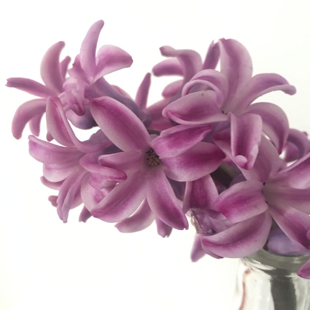 hyacinthe en senteur