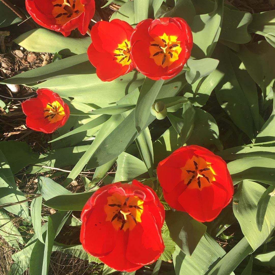 les tulipes s'ouvrent dans le jardin